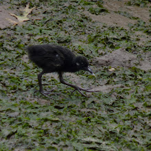 Photo: Baby Clapper Rail in Cheesequake Creek. Bad photo, but I think the cuteness makes up for it.
