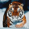 Tigers HD Wallpapers icon