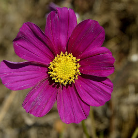 Simply Cosmos by Becky Luschei - Flowers Single Flower ( center, magenta, cosmos, pink, yellow, close up, flower )