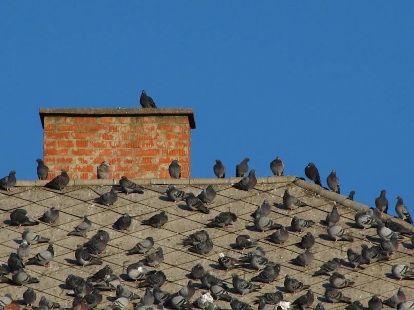 Ptaki na dachu