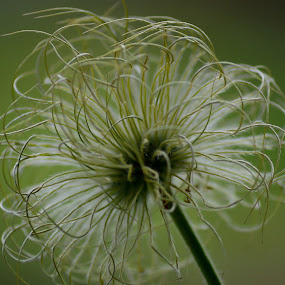 seedhead by Billy Kennedy - Abstract Macro ( plant, green, flower, seedhead )