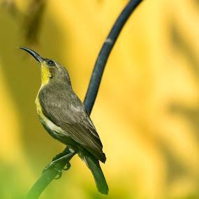 Sunbird by Shovan Sam - Animals Birds ( sigma, nature, bird photography, west bengal, canon )