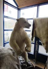 Photo: Keväällä ihastelimme täytettyä jääkarhua oslolaisessa tavaratalossa - myös Honnigsvågin pienen kylän turistimyymälssä oli sellainen (ehkä siis jokaisessa kylässä Norjassa?)