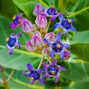 Giant Calotrope / Crown Flower / Indian Milkweed / Ivory Plant