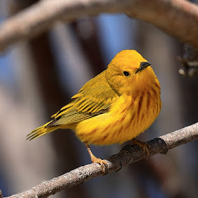 Paruline Jaune Amicale by Big Pikey - Animals Birds ( male yellow warbler, yellow warbler, riverside warbler, fast little bird, yellow bird perching, tiny yellow bird,  )
