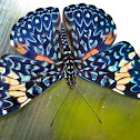 Red Cracker Butterfly laying eggs