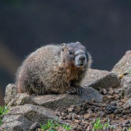 Baby Marmot by Anita Elder - Animals Other Mammals