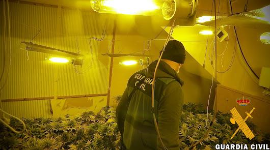 Cultivan marihuana en sus viviendas en presencia de sus hijos menores de edad