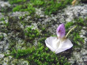 Photo: 藤の花