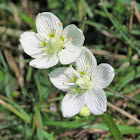 Grass of Parnassus