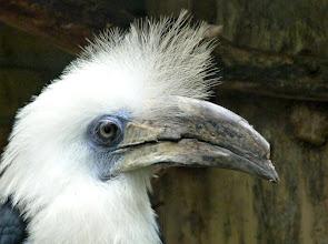 Photo: Langschopf-Hornvogel  (White-crowned Hornbill, Berenicornis comatus)  Thailand bis Borneo  (Fotografiert im Vogelpark Alphen, NL)
