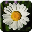 Daisy Flowers Live Wallpaper icon