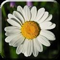 Daisy Flowers Live Wallpaper