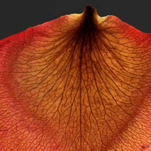 macroes rose petals poinsettas 083mmmmm copy.jpg