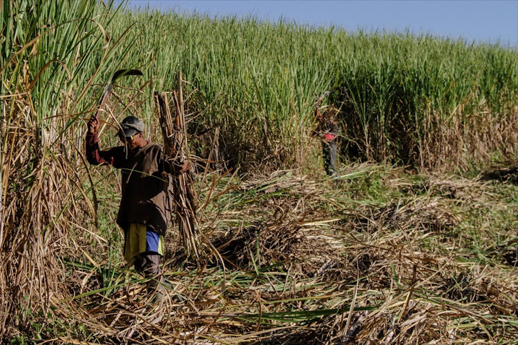 Illovo Sugar workers cut cane during the harvest, an enterprise whose contribution to sugar companies' bottom line is being eclipsed by land development.