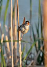 Photo: Marsh wren