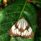 White Tiger Moth