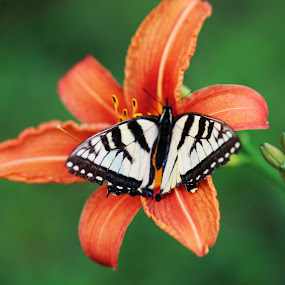 by Lee Chase - Flowers Flowers in the Wild ( orange lily butterfly )