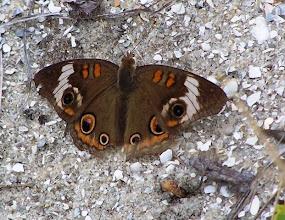 Photo: Buckeye Butterfly on dredge spoil - Rachel Carson Reserve