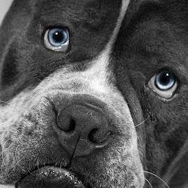 Puppy Old English Bulldog by Vix Paine - Animals - Dogs Puppies ( beautiful, puppy, old english bulldog, bulldog, colour splash, black and white, puppy old english bulldog, dog, blue eyes )