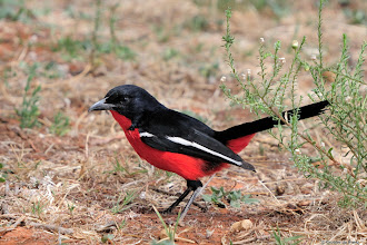Photo: Crimson-breasted Shrike (Afrikaans: Rooiborslaksman)