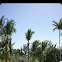 Roystonea regia palm tree
