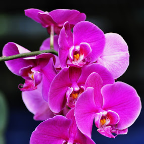 by Harry Musadi - Nature Up Close Flowers - 2011-2013 ( orchid, flower )