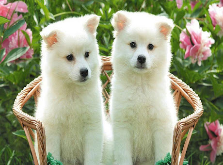 Dogs & Puppies Wallpapers & Themes