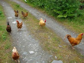 Photo: Some barnyard friends in Oona River.