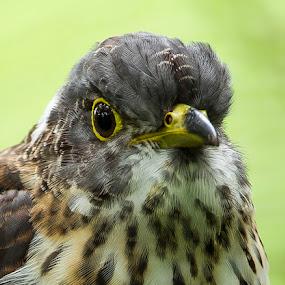 Malaysian Hawk Cuckoo by Eric Wang - Animals Birds