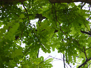 Photo: Hojas de falsa acacia (Robinia pseudoacacia)