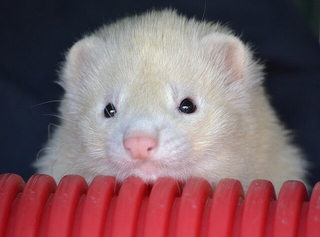 How Much Do Ferret Vaccinations Cost?