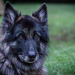 pepper by Graeme Wilson - Animals - Dogs Portraits ( gentle, beauty, dog, german shepherd, portrait )