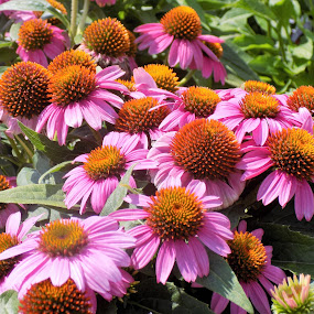 Coneflowers in the garden by Mary Gallo - Flowers Flower Gardens ( nature, coneflowers, garden flowers, flowers, flowers in the garden,  )