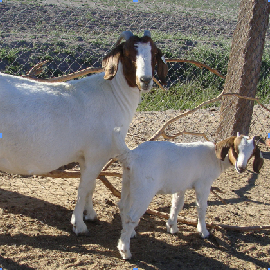 female boer goat with young kid