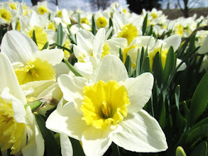 Photo: Bunches of white and yellow daffodils at Cox Arboretum in Dayton, Ohio.