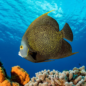 French Angelfish by Hezi Shohat - Animals Fish ( mexico, ocean, angelfish, fish, scuba, dive, cozumel, sea )