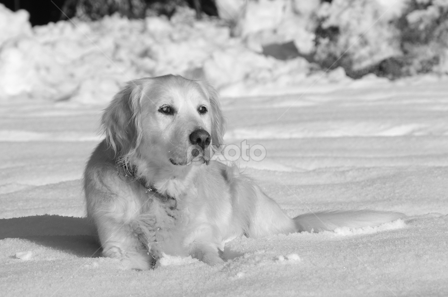 by Lidija P - Animals - Dogs Portraits