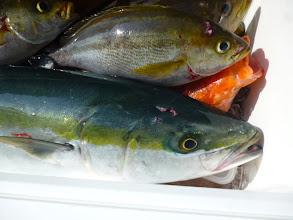 Photo: ヤズ4kgオーバーも入りました! 真鯛は7枚かな。イサキのサイズ抜群ですね!