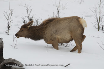 Photo: A yearling cow elk grazes on twigs. Yellowstone National Park, Wyoming.