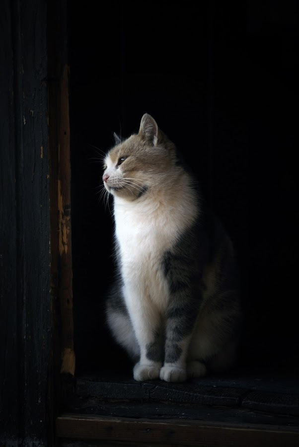 by Istvan Jager - Animals - Cats Portraits