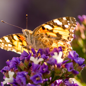 Butterfly Sunbathing by Malan Lombard - Animals Insects & Spiders ( butterfly, sunbathing )