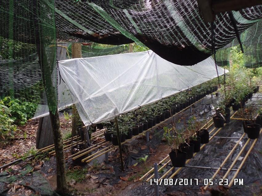 Thử dùng tấm nylon bằng mủ trong che mưa cho 1 giàn trồng hoa hồng