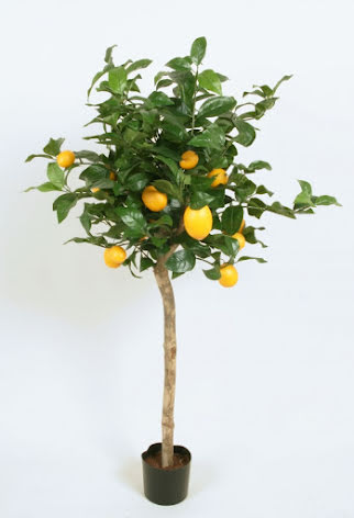 Lemon Tree (Citron Träd) - 110cm & 140cm