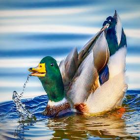 Playful Mallard by Don Holland - Animals Birds