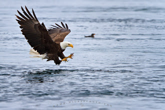 Photo: #WildlifeWednesday  such great themes on Wednesday. I want to contribute this eagle picture to #WildlifeWednesday which is curated by +Mike Spinak, it is one of my favorite themes.  I photographed this eagle just a split second before it he was catching a salmon. It was a challenge shooting this with the 2.8/300 from a moving (tide) boat while we were in the tide rips.  I guess I never get tired of photographing eagles, especially when they hunting, and it always will be a challenge because it happens so fast. As soon as a eagle makes its decision things happening very very fast, they often turn in flight, fold their wings up and go strait down - it is an incredible sight and very powerful.  I wrote a bit of a blog to this picture if you interested: http://www.hickerphoto.com/picture/bald-eagle-pictures-1601.htm  and my other eagle pictures can be found here: http://www.hickerphoto.com/photos/eagle-pictures.htm  #PlusPhotoExtract +Jarek Klimek