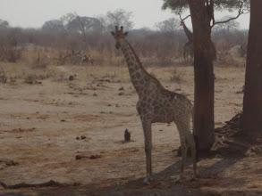 Photo: One last giraffe