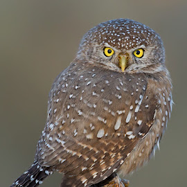 Pearl-spotted Owlet by Francois Retief - Animals Birds