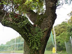 Photo: 這棵樟樹可能成蛇窩,瓊華師說:曾經請學生來此樹抓4隻蜥蜴,實驗用,也看到壁虎蛋,該有很豐富的食物鏈,最大的Y處,紅斑蛇就是由此爬進去,4分鐘後,看到石斛蕨正後方小株鳥巢蕨落地,紅斑蛇從枯樹洞鑽出,我只拍了兩張,將它嚇回去了。 2010年拍的,除了看到的石斛蕨外,現在長滿鳥巢蕨,而且更多部分乾枯