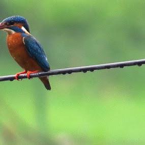 Common KingfisherDombivli (Maharashtra)24/6/2013 by Shashank Phadke - Animals Birds